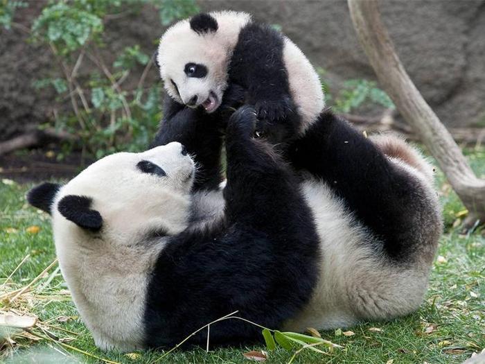 Панда воспитатель
