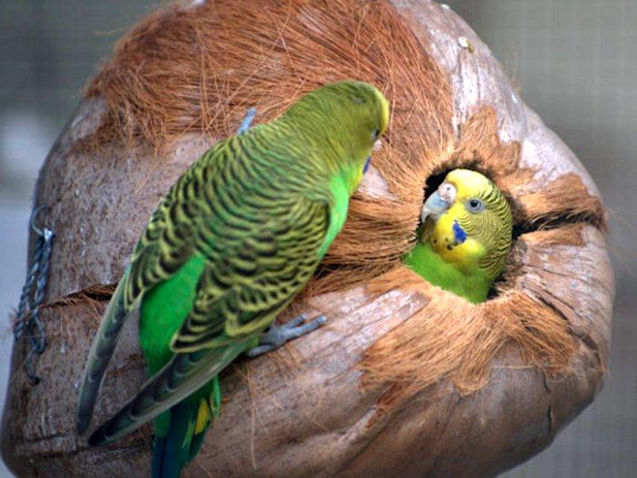 Оригинальное гнездо попугая