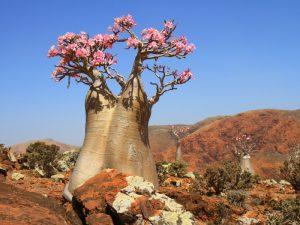 Цветущий баобаб