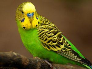 Настоящий волнистый попугай