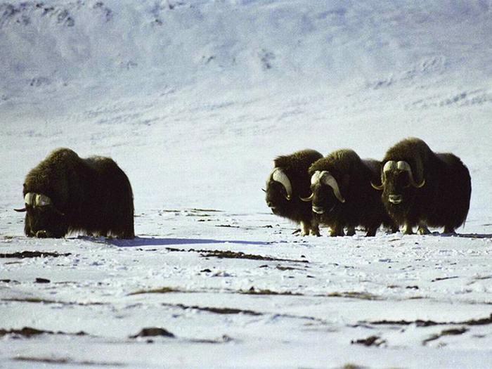 Овце-быки острова Врангеля