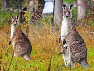 Исполинский или лесной кенгуру