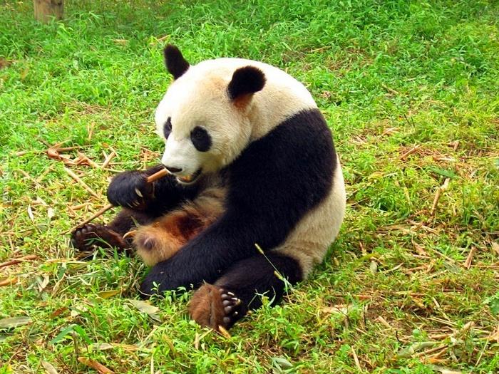 Бамбук еда панды
