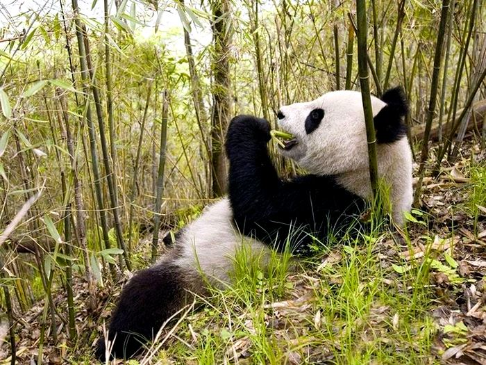 Китайский бамбуковый медведь