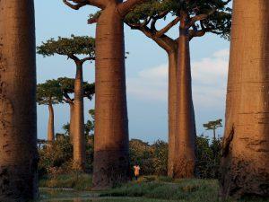 Баобабовый лес