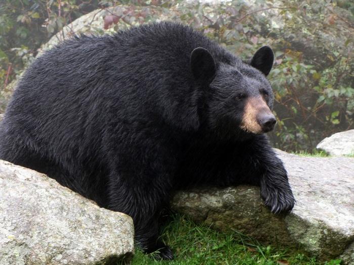 Фото-медведя-барибала-Лучшие-фото-10