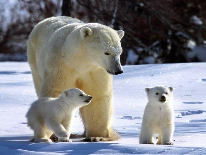 Самка белого медведя с детенышами