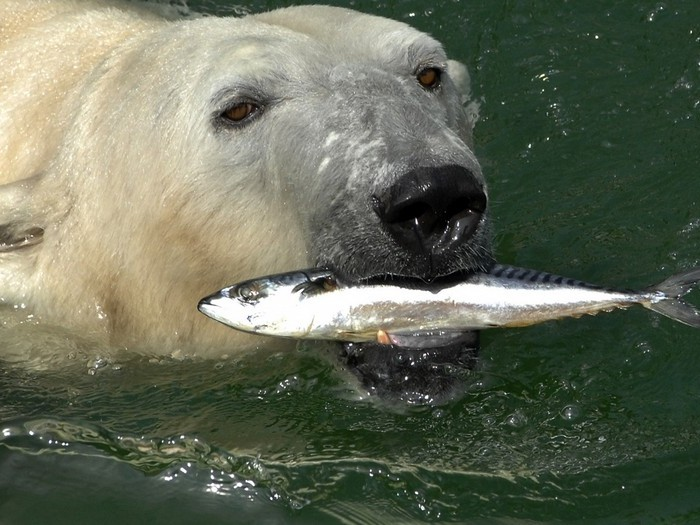 Пища белого медведя