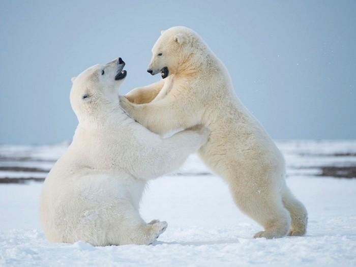 Игры медведей