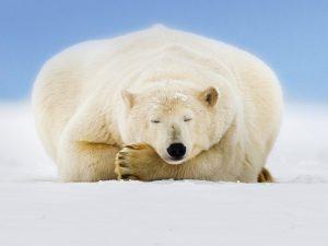 Сон белого медведя