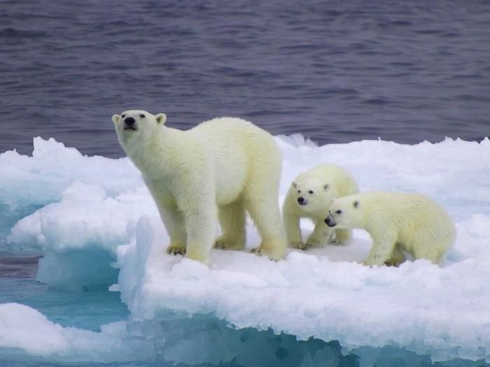 Подросшие медвежата