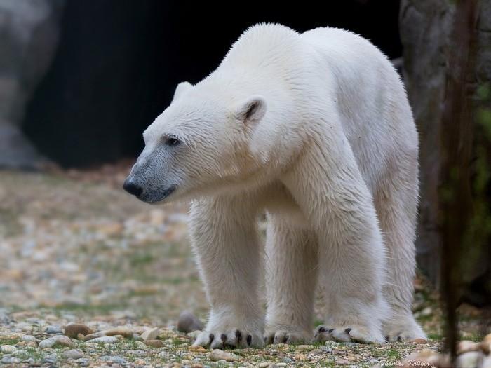 Гренландский медведь