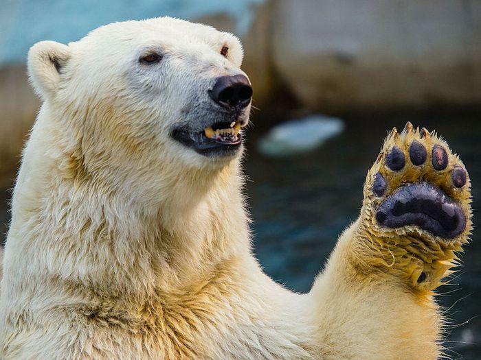 Белый медведь опасный хищник