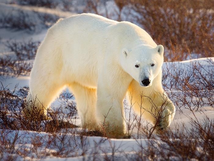 Здоровый медведь
