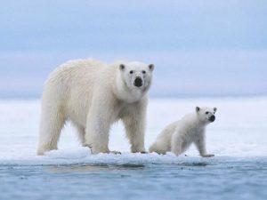 Белая медведица с медвежонком на льду