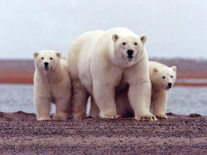 Три белых медведя