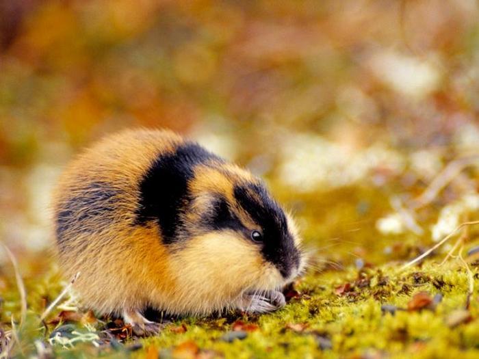 Короткохвостая мышь