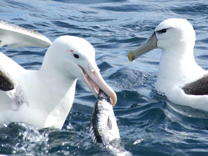Кормежка альбатросов