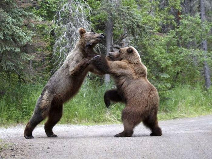 Бой медведей