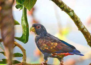 Бронзовокрылый попугай
