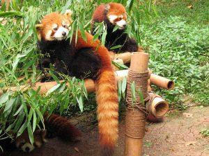 Хищник жующий бамбук