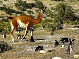 Пингвины соседи гуанако