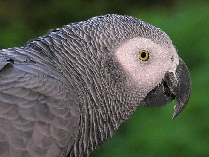 Серый попугай