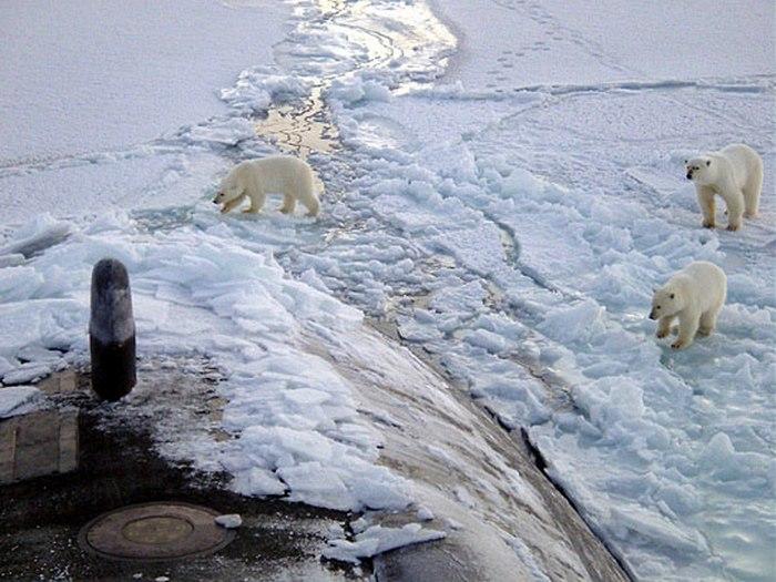Белые медведи в Карском море