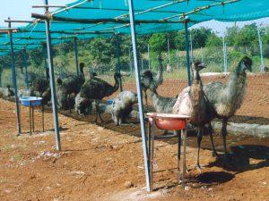 Интересные факты об эму. 10 фактов о страусе эму