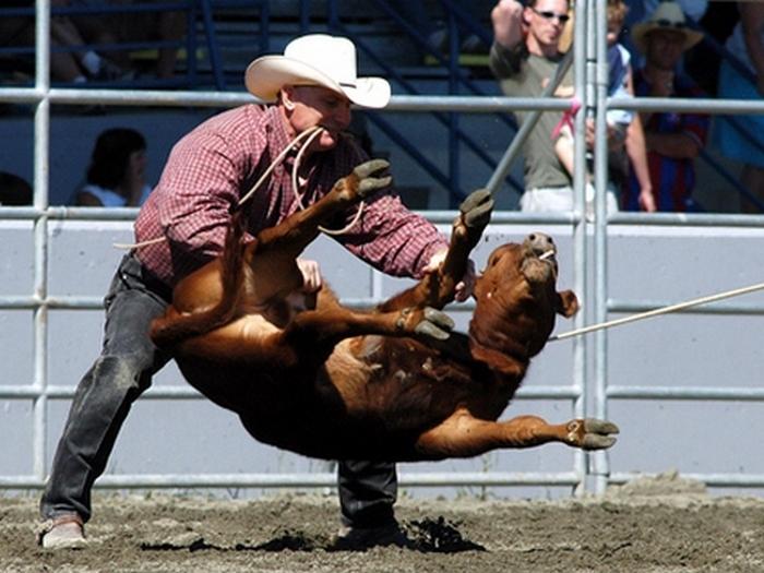 Calf Roping - ловля бычка на лассо
