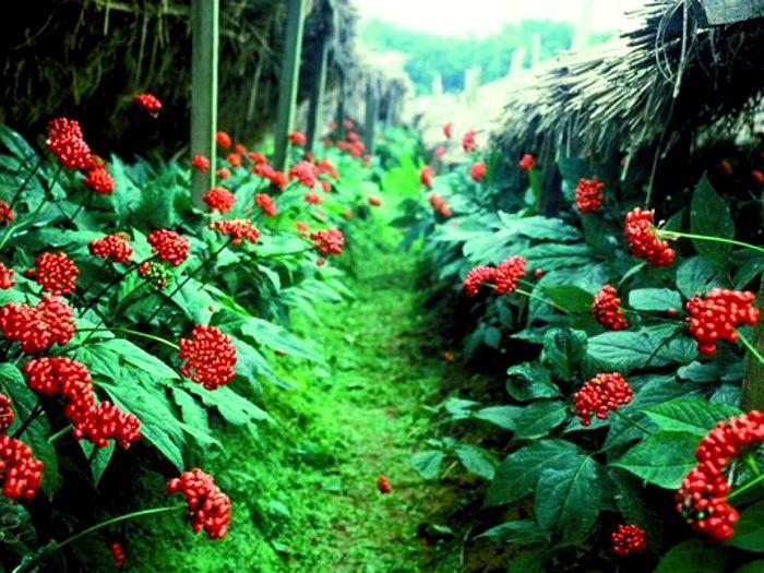 Женьшеневая плантация