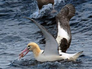 Чем питается альбатрос?