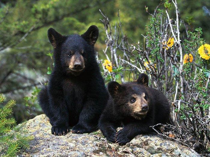 Фото-медведя-барибала-Лучшие-фото-9