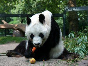 Панда и овощи
