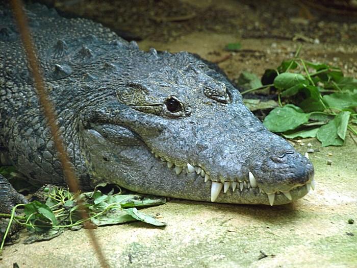 Крокодил Мореле