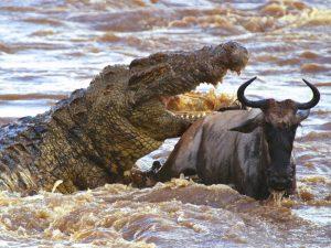 Самый свирепый крокодил