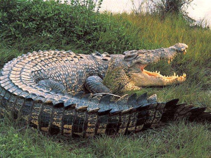 Индо-тихоокеанский крокодил