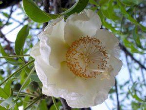 Цветок баобаба
