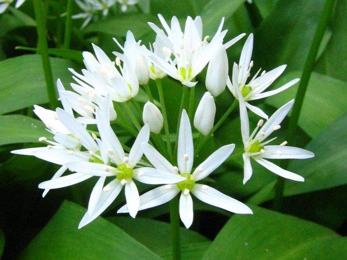 Цветок женьшеня