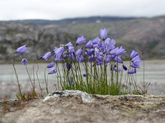 Цветы Гренландии