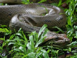 Самая крупная змея на Земле