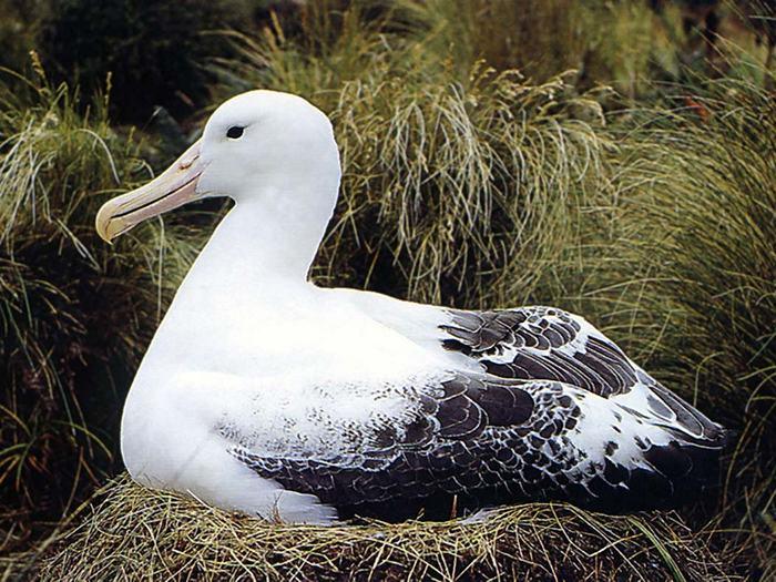 Альбатрос в гнезде