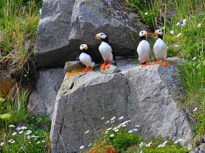 Редкие птицы острова Врангеля