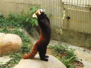 Родственник большой панды