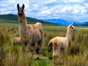 Семейка ламы