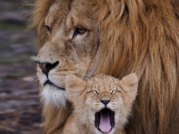 Интересные факты о львах. 12-ть фактов о льве