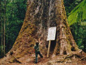 Гигантские эвкалипты Тасмании