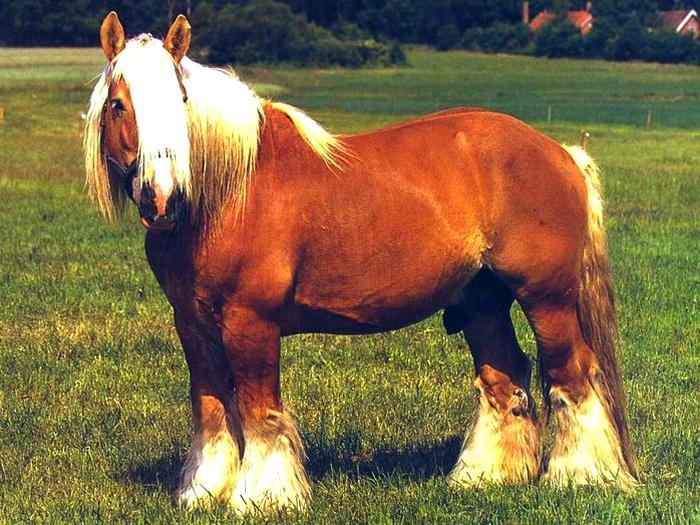 Датский тяжеловоз - Ютландская лошадь