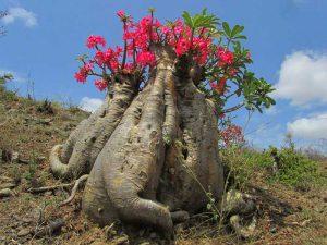 Цветы на молодом баобабе