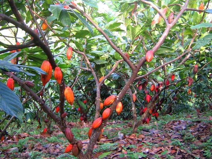 Какао деревья в Южной Америке